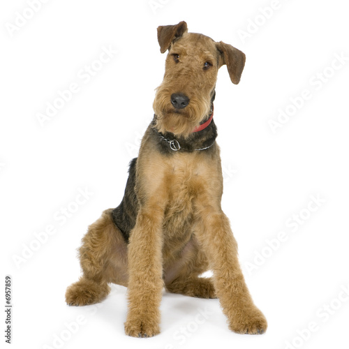 Airedale Terrier (1 year) Canvas Print