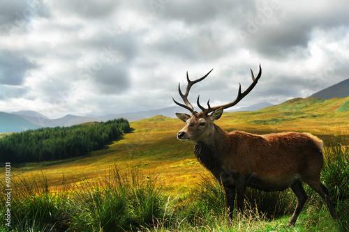 Fotografia Scottish Stag