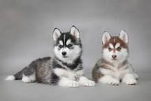 Siberian Husky Dog Puppies