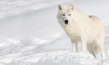 Arctic Wolf In The Snow Lookin...