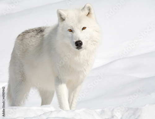 Arctic Wolf in the Snow Looking at the Camera Tapéta, Fotótapéta
