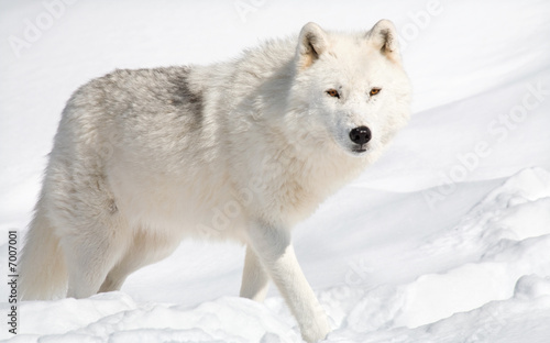 Tuinposter Ijsbeer Arctic Wolf in the Snow Looking at the Camera