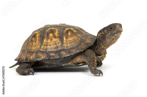 Box turtle on a white background Wallpaper Mural