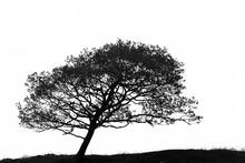 Leaning Hawthorn Tree