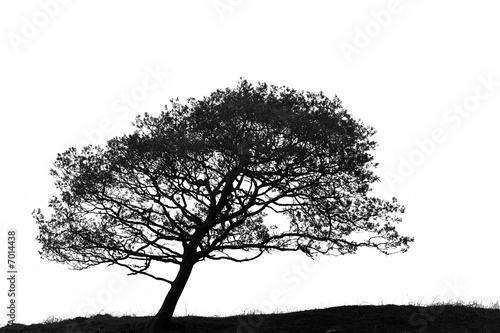 Fotografia, Obraz  Leaning Hawthorn Tree