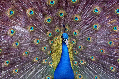 Photo  Peacock Fan
