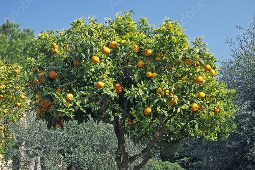 Fényképezés Orangenbaum bei Diano Castello