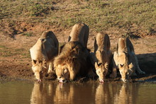 Four Adult Lions Drinking Wate...