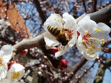 Bright Sun Day. A Bee Collects Nectar On The Flowers Of Apricot.