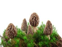 Morel Mushrooms Isolated