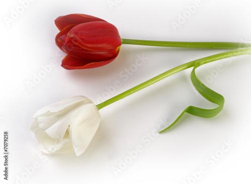 Foto auf Gartenposter Tulpen Tulip tulpe