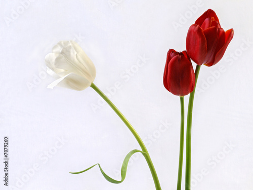 Printed kitchen splashbacks Tulip Tulips tulpen