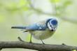 Mésange bleue Parus caeruleus femelle
