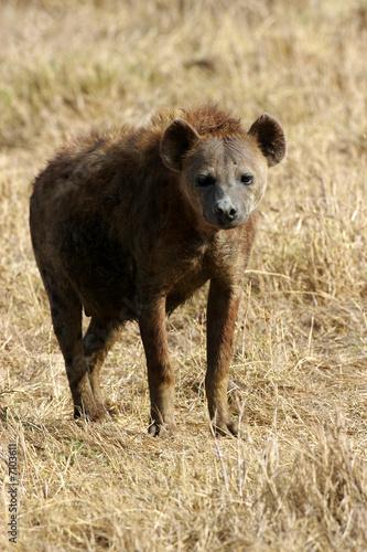 Foto op Aluminium Hyena African Hyena