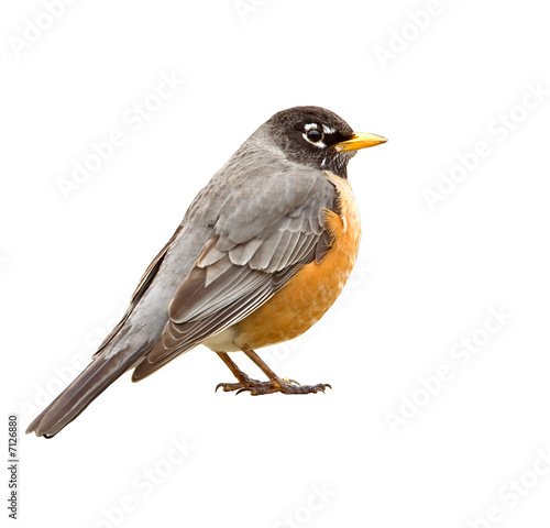 Photo  American Robin