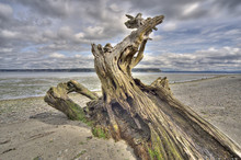 Driftwood On Whidbey Island, W...