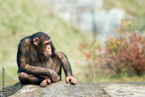 Foto cute chimpanzee