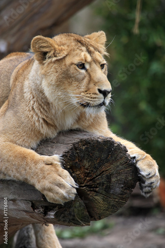 Photo  Lion on tree trunk