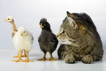 Chicken And The Cat