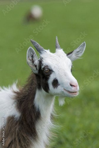 Young goat Canvas Print