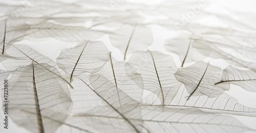 Valokuva foglie trasparenti