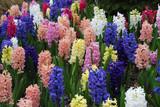 hyacinth flowers in spring garden