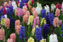 Hyacinth Flowers In Spring Garden