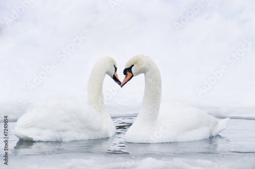 Poster Cygne Couple of swans forming heart