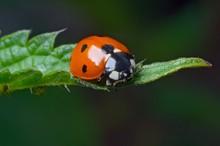 Macro Potrait Of The Ladybug