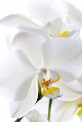 Plakat Orchid flowers.