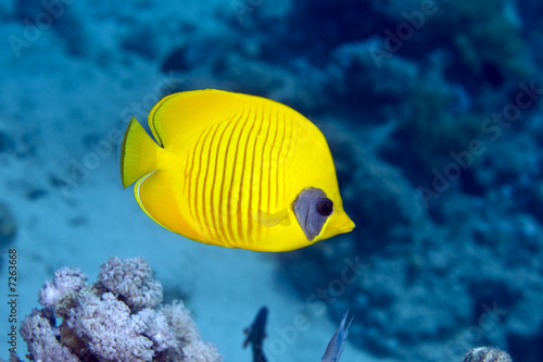 Poster Coral reefs Masked Butterfly Fish (Chaetodon semilarvatus)