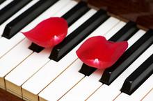 Romantic Concept - Rose Petals On Piano Keys