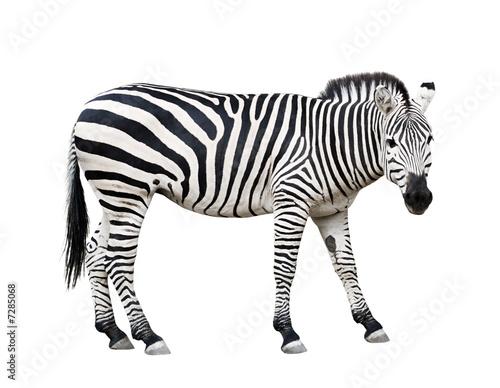 Staande foto Zebra Zebra cutout