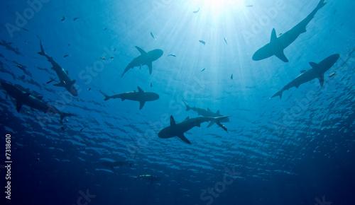 Fotografía Sharks