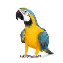 Young Blue-and-yellow Macaw - ...