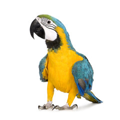 Fototapeta Young Blue-and-yellow Macaw - Ara ararauna (8 months)
