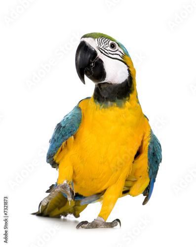 Fond de hotte en verre imprimé Perroquets Young Blue-and-yellow Macaw - Ara ararauna (8 months)
