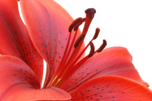 Burgundy Red Tiger Lily Isolated On White Background