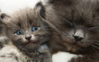 canvas print picture Cat and kitten