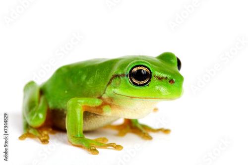 Foto op Plexiglas Kikker Little tree-frog on white background