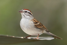 Chipping Sparrow (Spizella Pas...