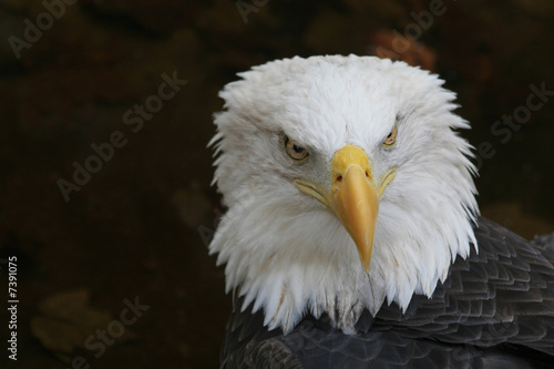 American Eagle - Symbol Of A Country