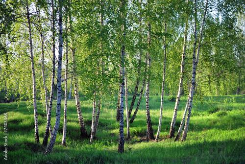 Deurstickers Berkbosje Birchs. North landscape.