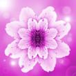 Leinwandbild Motiv one pink flower of peach