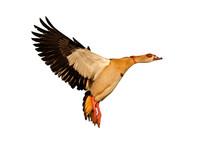 Egyptian Goose In Flight On White