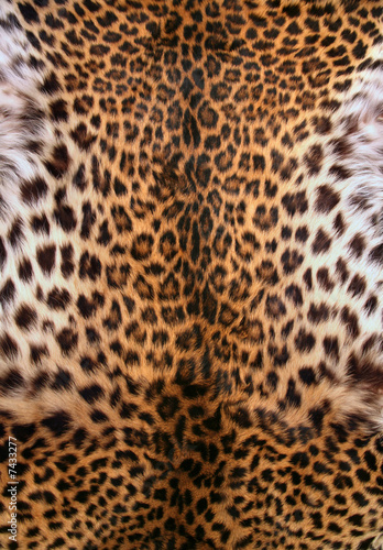 Poster Luipaard Skin of the leopard
