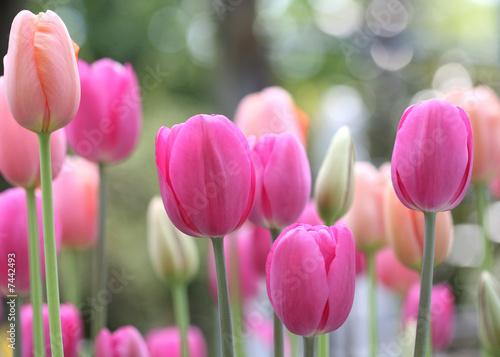 Naklejki tulipany kwiaty-tulipanow-na-lace