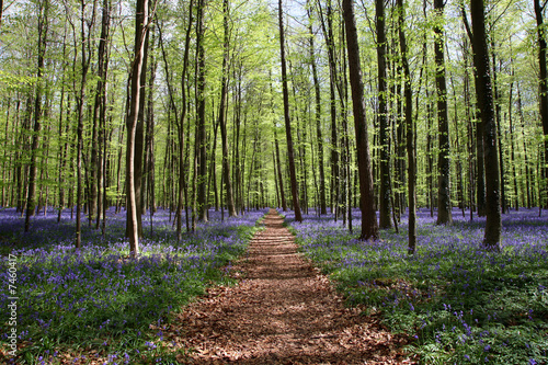 Fototapeten Wald bluebell forest