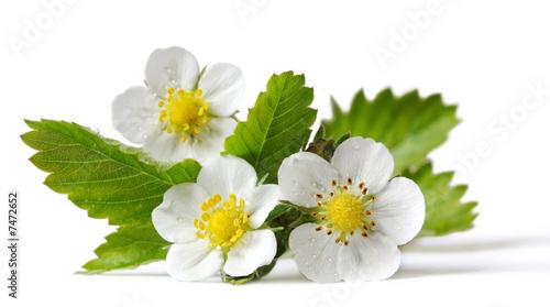 Fototapeta fiori di fragola obraz