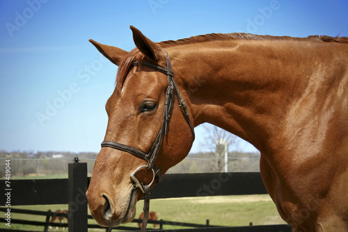 Horse in bridle Fototapeta